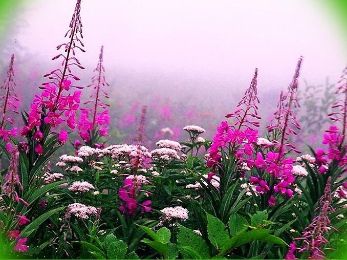 цветок иван-чай фото